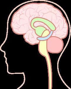 視床下部や脳下垂体の機能低下により、ホルモンバランスが崩れます